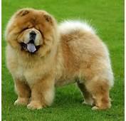 Las Caracter Sticas M Sunes Sobre La Raza De Perros Chow