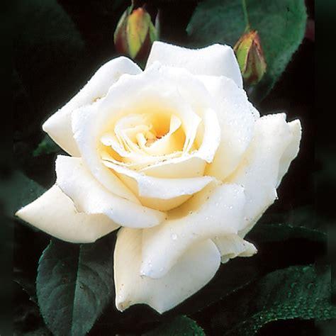 tea hybrid white rose bare root plants  sale  prices