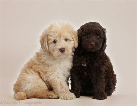 goldendoodle puppies new dogs goldendoodle puppies on beige background photo wp37781