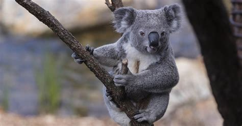 hundreds  koalas feared dead  australian wildfires