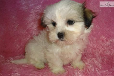 malshi puppies for sale in pa mal shi puppies breeders mal shi malshi puppy for sale near springfield missouri