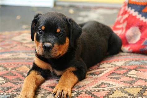 how do you a rottweiler pretty rottweiler puppy photo jpg 1 comment