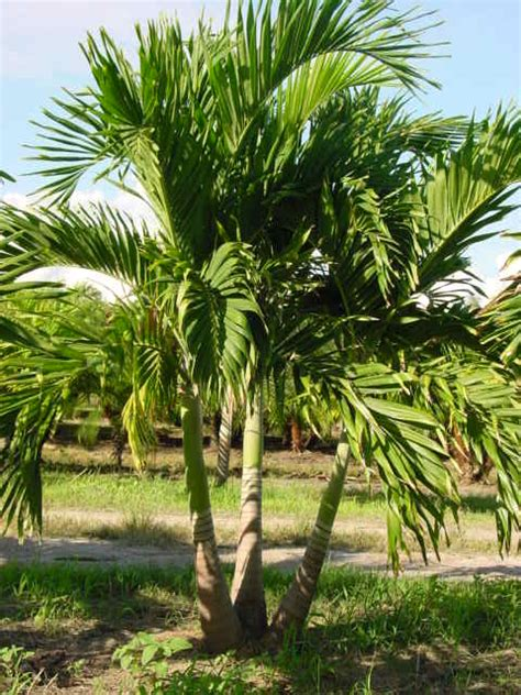 palms trees smart choice landscape co