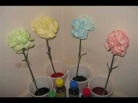 color changing carnations colour changing carnations