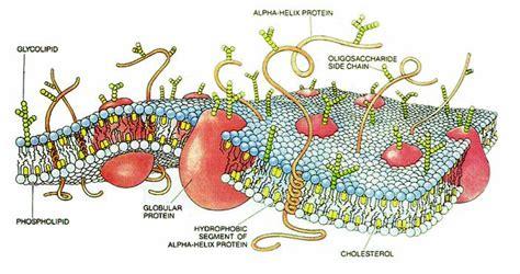Ela Lipit file cellmembranedrawing jpg wikimedia commons