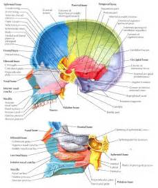 Sagittal Section Of The Skull sagittal section of the skull images