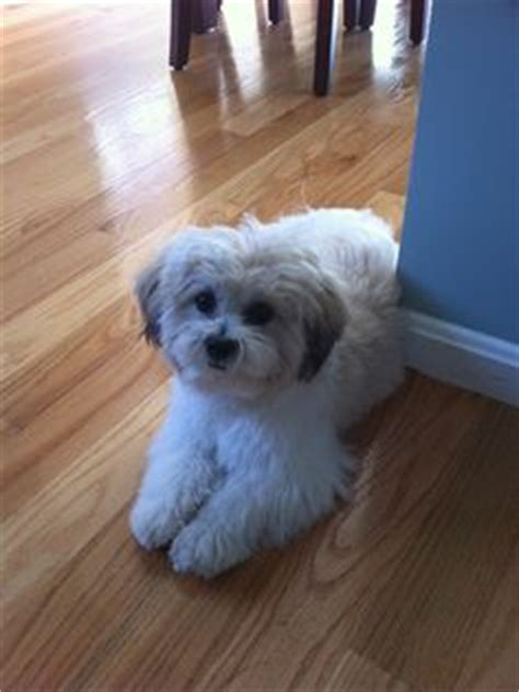 shichon haircuts 1000 images about doggy on pinterest peanuts homemade