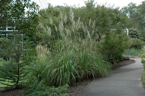 hardy pas grass erianthus ravennae in denver centennial littleton aurora parker colorado co