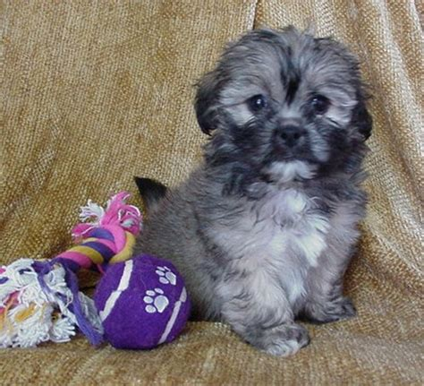 shih poo puppies for sale in michigan mari may shihpoos puppies for sale