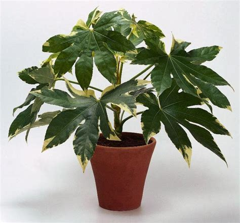 indoor japanese plants japanese aralia house plants pinterest