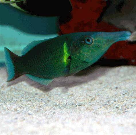 green bird wrasse something fishy aquarium livestock fish green
