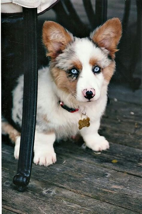 corgi australian shepherd mix puppies aussie corgi augi we need a pair why is everything mixed with a corgi adorable