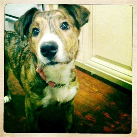 border collie pitbull mix puppies american pit bull border collie mix breeds picture