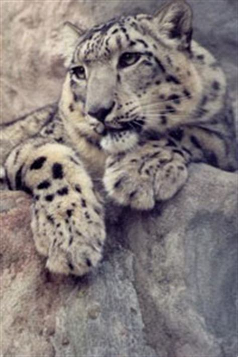 Saving The Snow Leopards Big Cat Rescue   saving the snow leopards