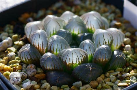 interesting succulents haworthia obtusa dodson miyatake30 flickr