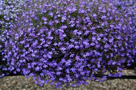 fiore perenne lobelia piante annuali come coltivare la lobelia