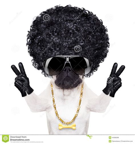 hair pug cool pug stock photo image 44068288