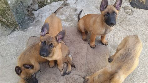 Le Berger berger malinois www pixshark images galleries with