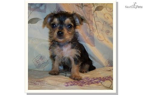 puppies for sale tallahassee chorkie puppies pictures by weeks breeds picture
