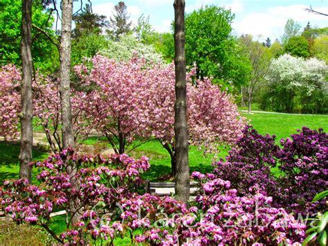 patio rhododendron brueckner rhododendron gardens japanese cherries apple