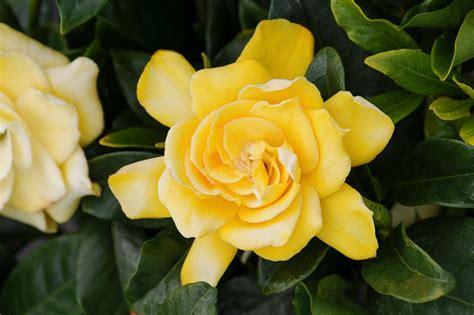 gardenia jasminoides golden magic cape jasmine
