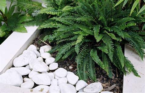 felce da appartamento felce blechnum spicant blechnum spicant piante da
