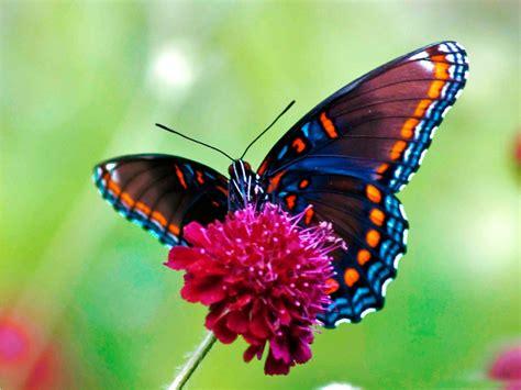 imagenes reales red wings galer 237 a de im 225 genes mariposas de colores