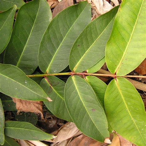 Parel Bulat Warna 8mm tumbuhan bali nyambu semarang