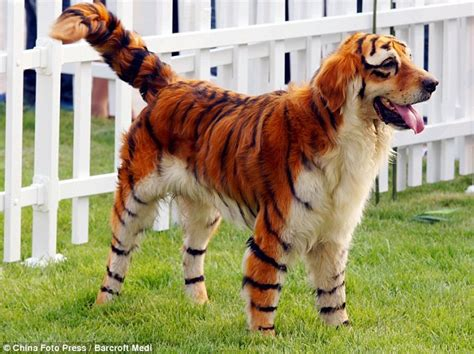 Meet the Tiger Dog: Chinese owners dye pets to look like