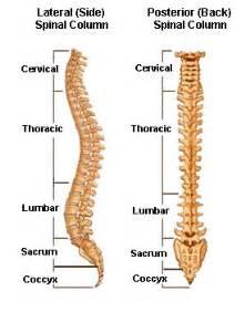 spinal anatomy vertebral column
