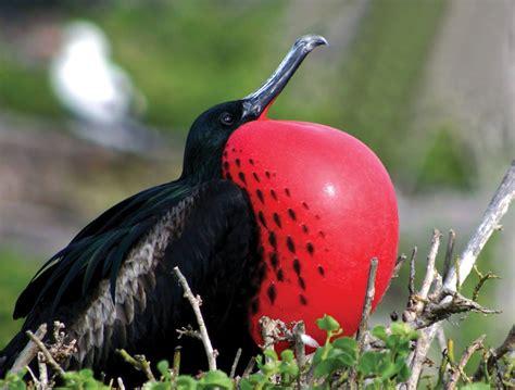 exploring barbuda s magnificent frigatebird colony