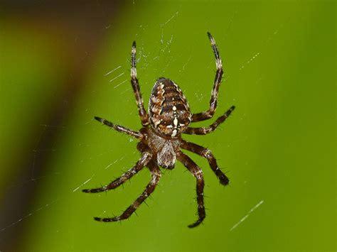 Orange Garden Spider by Skev S Pan Species Listing Moths Birds Stuff