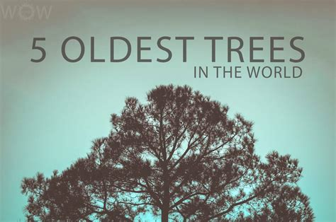 oldest in the world 5 oldest trees in the world wow travel