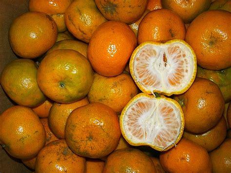 Jeruk Medan Manis 1 jenis jenis jeruk ayorange