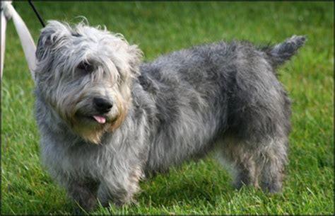 Glen of Imaal Terrier - Escaparatedemascotas