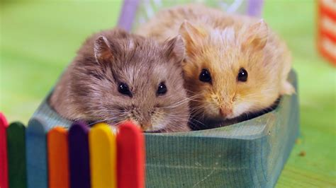 hamster with two hamsters in a tiny playground