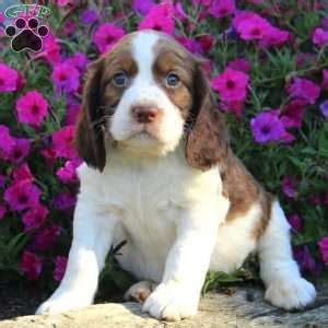 ken puppies for sale springer spaniel puppies for sale greenfield puppies