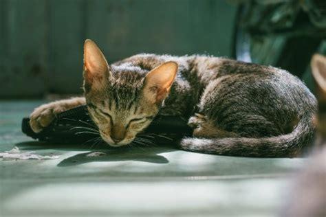 cat vomiting      pethelpful