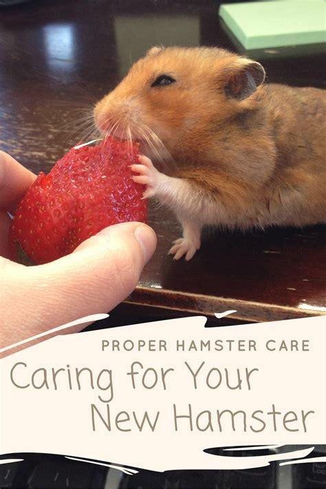 proper hamster care caring    hamster budget earth