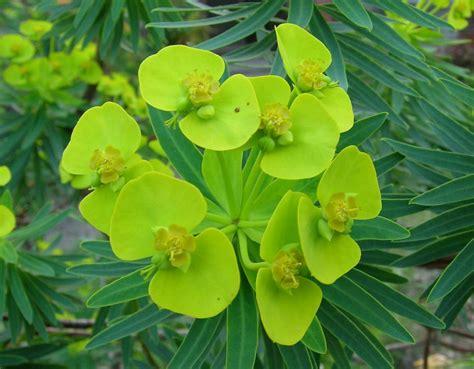 image gallery euphorbia poison