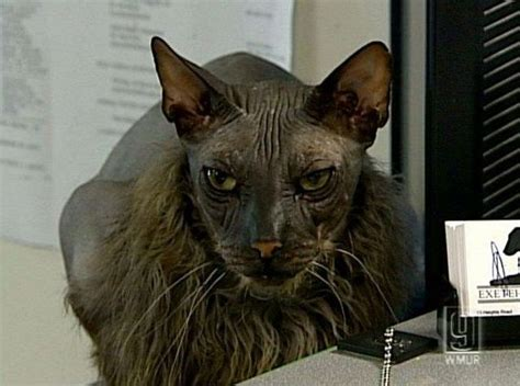 ugliest in the world the ugliest cat in the world 7 pics izismile
