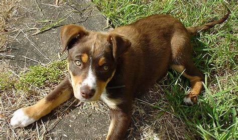 kelpie breed australian kelpie breed information