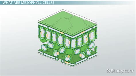 mesophyll cell diagram mesophyll cells function definition lesson