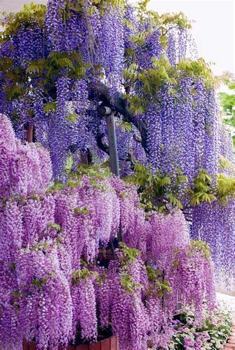 Wisteria In Japan by Violet Beauty Of Wisteria Japan Envy Pinterest