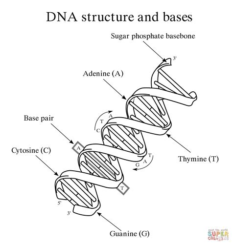 dna structure and bases coloring page free printable