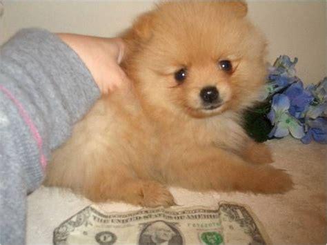 pomeranian breeders orlando best 25 pomeranian breeders ideas on fluffy breeds poodle mix dogs