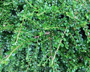 Flowering Shrub Shade - gardensonline lonicera nitida