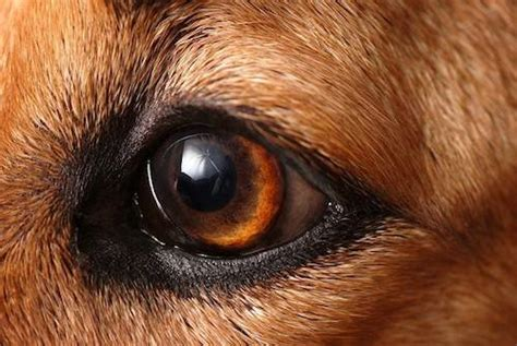 dogs vision vision houndsight isn t 20 20 mnn nature network