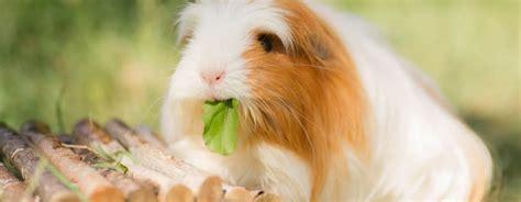alimentazione porcellino d india quel 232 il miglior cibo per i porcellini d india