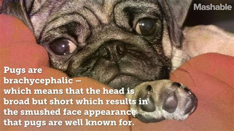 facts about pugs dogs 16 totally true facts about pugs